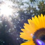 Closeup sunflower with beautiful lens flare