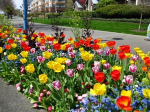Tulips at the Quay